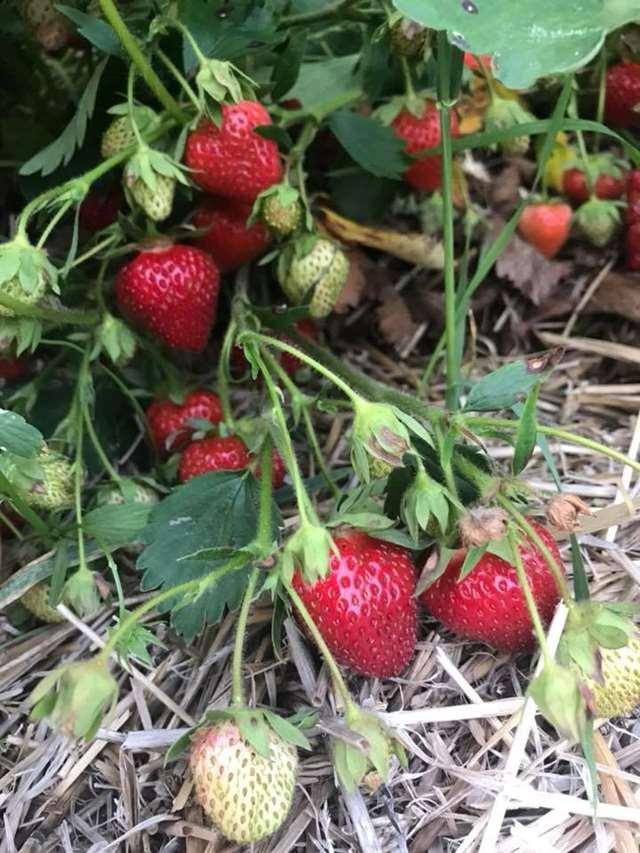 Huhn Strawberry Farm Pickyourown Farm